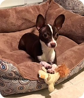 Chihuahua Dog for adoption in Ft Myers Beach, Florida - Just adorable!!