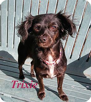 Chihuahua Mix Dog for adoption in El Cajon, California - Trixie
