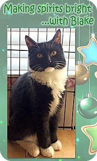 Domestic Shorthair Kitten for adoption in East Brunswick, New Jersey - Blake