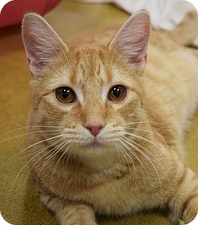 Domestic Shorthair Cat for adoption in Hillside, Illinois - Butch-ORANGE SWEETIE