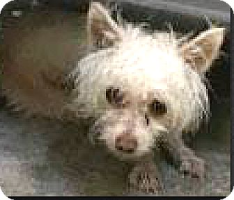 Yorkie, Yorkshire Terrier/Westie, West Highland White Terrier Mix Dog for adoption in Boulder, Colorado - Reno