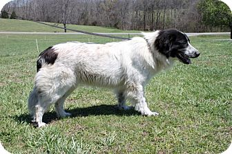 Great Pyrenees Mix Puppy for adoption in Greenwich, Connecticut - Panda Bear