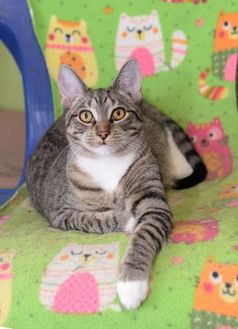 Domestic Shorthair/Domestic Shorthair Mix Cat for adoption in Baton Rouge, Louisiana - Otis