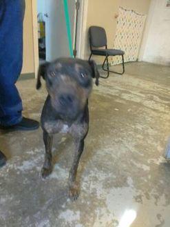 Labrador Retriever Mix Dog for adoption in Los Lunas, New Mexico - 36024800
