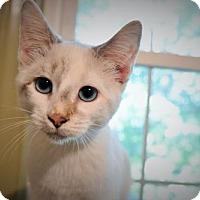 Snowshoe Cat for adoption in Cary, North Carolina - Eliza
