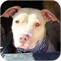 American Pit Bull Terrier Mix Dog for adoption in Berkeley, California - Bitsy