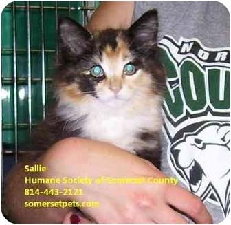 Domestic Longhair Kitten for adoption in Somerset, Pennsylvania - Sallie