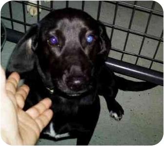 Spaniel (Unknown Type)/Labrador Retriever Mix Dog for adoption in Mt. Lebanon, Pennsylvania - Black Lady