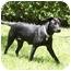 Photo 2 - Labrador Retriever Mix Dog for adoption in Houston, Texas - Summer