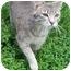 Photo 1 - Domestic Shorthair Cat for adoption in Lexington, Missouri - Jessica