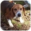 Photo 1 - Beagle Dog for adoption in Ventnor City, New Jersey - FRESCA