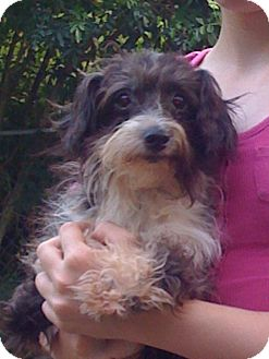 Chinese Crested/Poodle (Toy or Tea Cup) Mix Dog for adoption in geneva, Florida - Marty