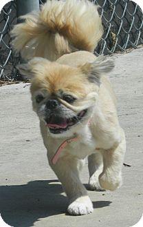 Pekingese Dog for adoption in Mays Landing, New Jersey - Bitsy-VA