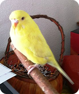 Budgie for adoption in Hubertus, Wisconsin - Corky
