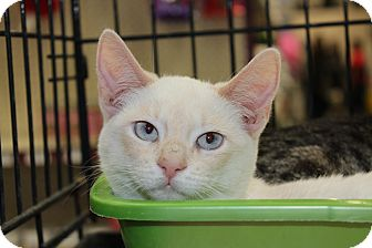 Siamese Kitten for adoption in Santa Monica, California - Elizabeth