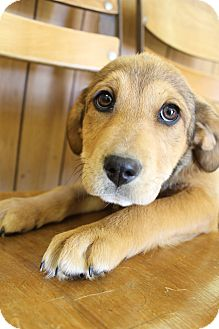 Beagle/Labrador Retriever Mix Puppy for adoption in Bedminster, New Jersey - Halo