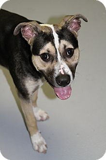 Shepherd (Unknown Type) Mix Dog for adoption in Muskegon, Michigan - Bruno
