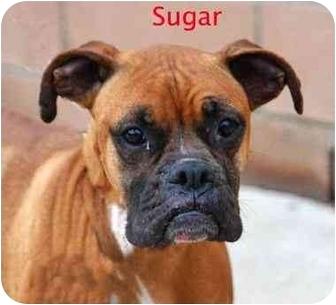 Boxer Dog for adoption in Encino, California - Sugar