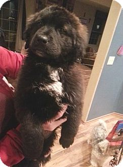 Great Pyrenees/Newfoundland Mix Puppy for adoption in Tulsa, Oklahoma - Knight  *Adopted