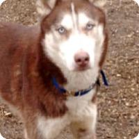 Adopt A Pet :: Cody - Horsham, PA