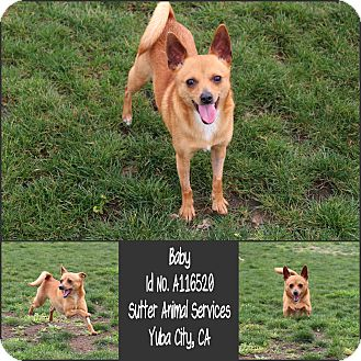 Chihuahua Mix Dog for adoption in Yuba City, California - 02/21 Baby