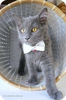Russian Blue Kitten for adoption in Montclair, California - Buddy