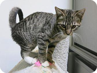 Domestic Shorthair Cat for adoption in Manteca, California - Ringo