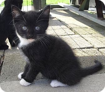 Domestic Shorthair Kitten for adoption in Lisbon, Ohio - Cameron - ADOPTED!