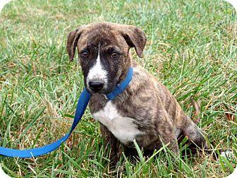 German Shepherd Dog Mix Puppy for adoption in Salem, New Hampshire - PUPPY TANDI