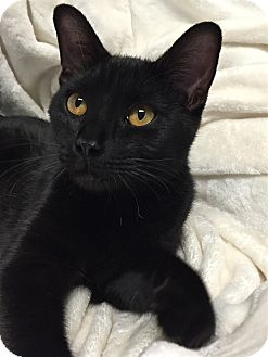 Domestic Shorthair Cat for adoption in South Haven, Michigan - Cher