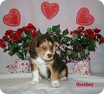 Australian Shepherd/Golden Retriever Mix Puppy for adoption in Green Cove Springs, Florida - Hershey