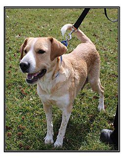 Labrador Retriever/Boxer Mix Dog for adoption in LaGrange, Kentucky - WILLA