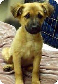 Retriever (Unknown Type)/Shepherd (Unknown Type) Mix Puppy for adoption in Alpharetta, Georgia - Stetsen