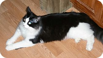 Domestic Longhair Cat for adoption in Corydon, Indiana - Peeves