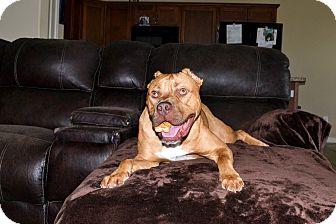 Cane Corso Dog for adoption in Schaumburg, Illinois - ROCKY