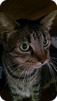 Domestic Shorthair Cat for adoption in Witter, Arkansas - Forest