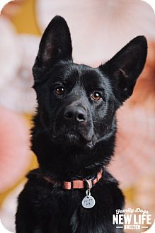 German Shepherd Dog/Labrador Retriever Mix Dog for adoption in Portland, Oregon - Tajin