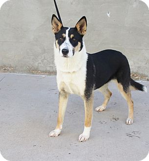 Shepherd (Unknown Type)/Husky Mix Dog for adoption in Odessa, Texas - A29 Kelly
