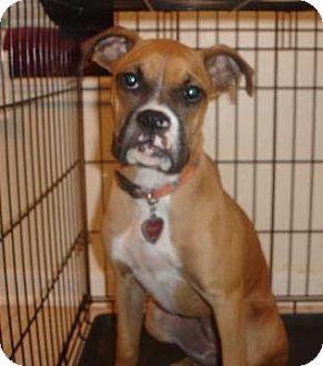 Boxer Dog for adoption in Houston, Texas - ZOLA