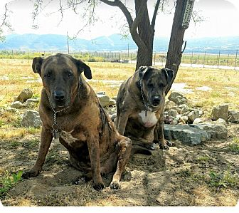 German Shepherd Dog/Labrador Retriever Mix Dog for adoption in San Juan Capistrano, California - Pudge and Sarge