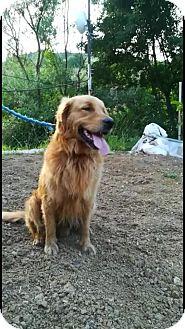 Golden Retriever Dog for adoption in Washington, D.C. - Redd