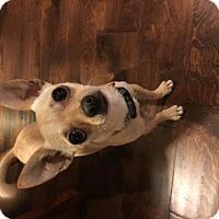 Adopt A Pet :: Tinkerbell - Gilberts, IL