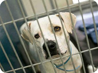 Labrador Retriever/American Pit Bull Terrier Mix Dog for adoption in Phoenix, Arizona - A3965256