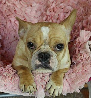 French Bulldog Dog for adoption in Millersburg, Ohio - Penny