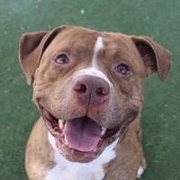 Adopt A Pet :: *SAMMY BOY - Las Vegas, NV