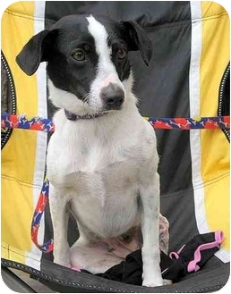 Fox Terrier (Smooth) Mix Dog for adoption in Vista, California - Lucy