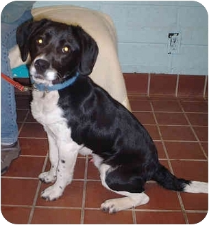 Beagle Mix Dog for adoption in Honesdale, Pennsylvania - Tater