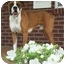 Photo 1 - Boxer Puppy for adoption in Owensboro, Kentucky - Rocco