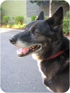 Akita/Shepherd (Unknown Type) Mix Dog for adoption in Portland, Oregon - Nakita