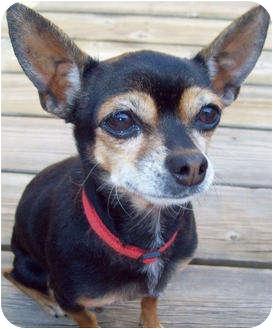 Chihuahua Dog for adoption in Encinitas (San Diego), California - Scrapy